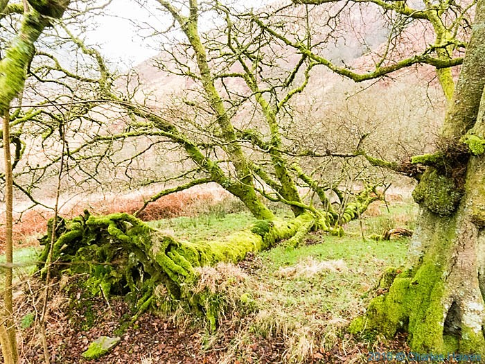 Fallen tree in Doethie valley photographed from the Cambrian way by Charles Hawes