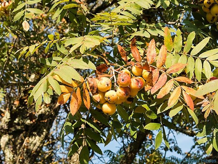 Sorbus domestica f. pomiferya