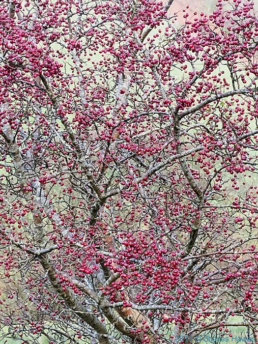 Hawthorn in berry on Cambrian Way near Commins Coch, photographed by Charles Hawes