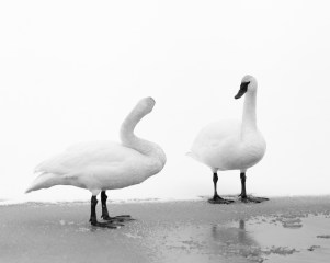 Trumpeter Swans, February 22, 2014