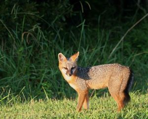 Gray_fox_animal_urocyon_cinereoargenteus