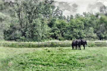 Old horses at pasture (1 of 1)