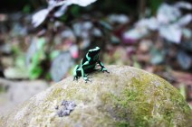 Green and black dart frog 1200 - Charlie on Travel