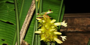 Red-eye tree frog