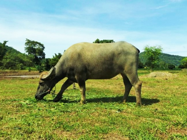 Phu Ruea Ruean Mai Rice Farm buffalo - ecotourism Thailand - Charlie on Travel