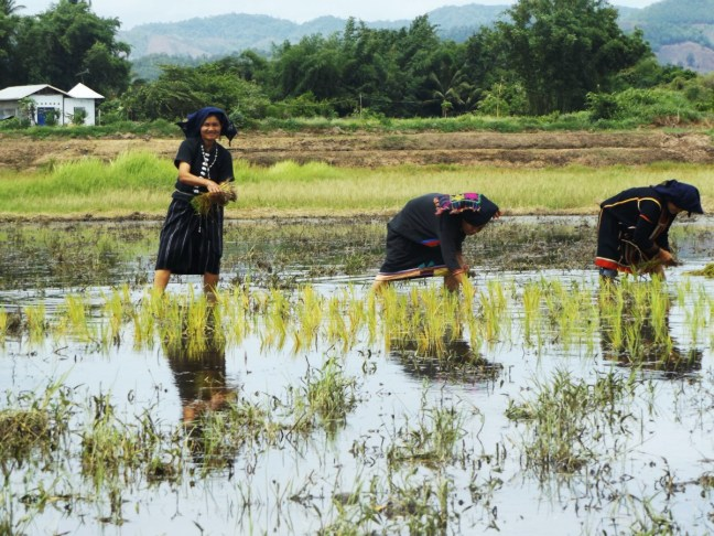 Tai Dam Village Thailand Loei Province - Women in rice field - Charlie on Travel 2