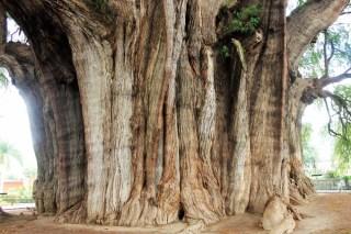 Oaxaca Mexico Tule Tree 3 - Charlie on Travel