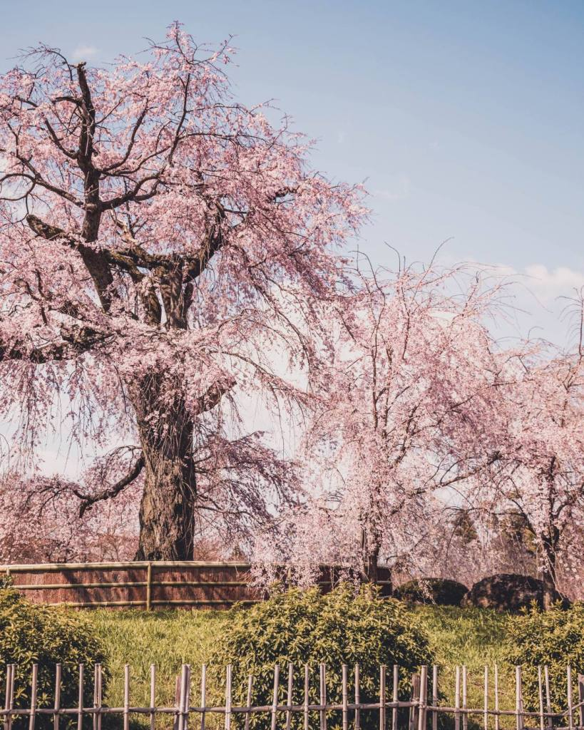 weeping willow tree during cherry blossom season in Kyoto