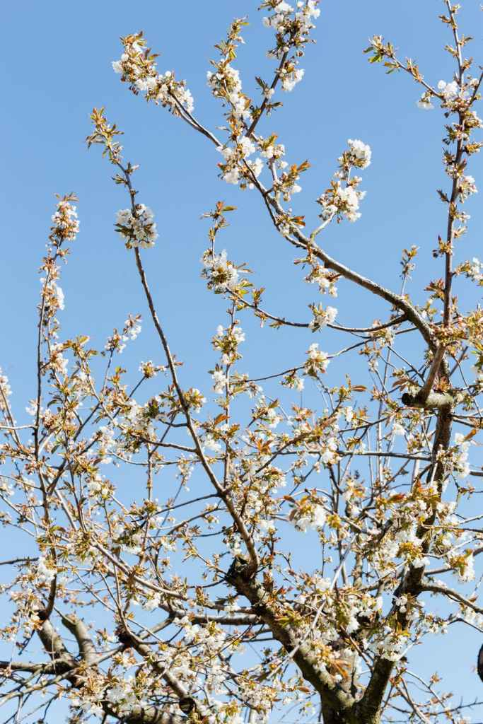 blossoming branches of orchard tree on beautiful day