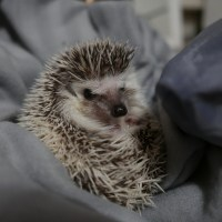 Happy 1st Birthday Henlo! Meet My Pet Hedgehog