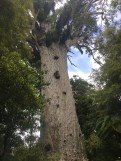 2000 Year old Kauri tree in Waipoua Forest