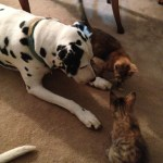 Dalmatian and 2 calico cats together