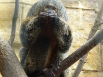 The female white faced saki monkey.