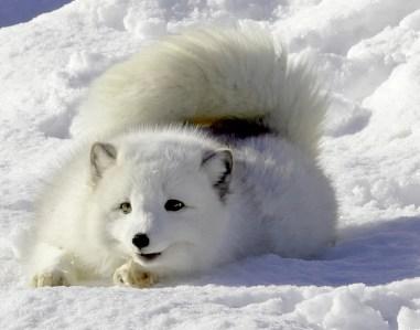 ArcticFox-L