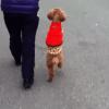 二足歩行で散歩!?犬らしさがないトイプードルが凄い!!|petfilm.biz -ペットのおもしろ 可愛い写真・動画まとめ