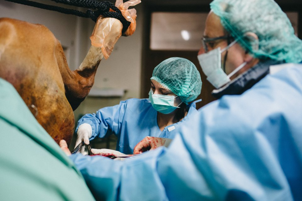 chirurgie grands animaux