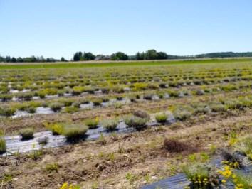 Voilà à quoi ressemble le champ après la récolte