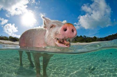 pig-swimming-CC