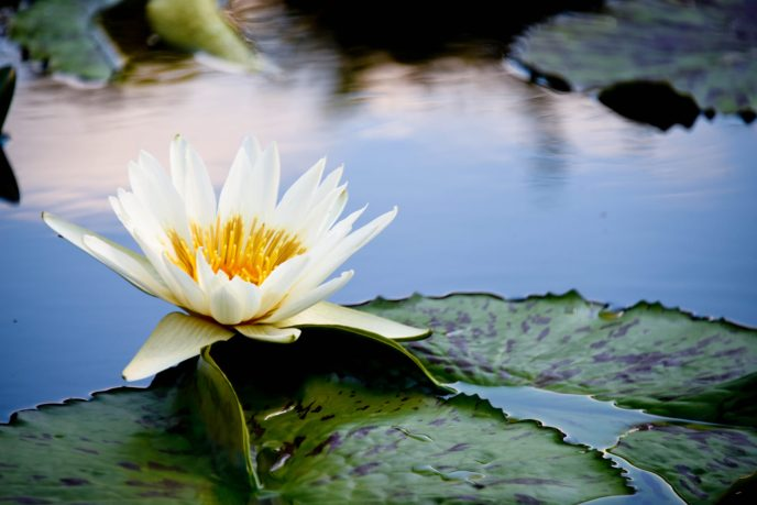 Water Lilly MOBOT