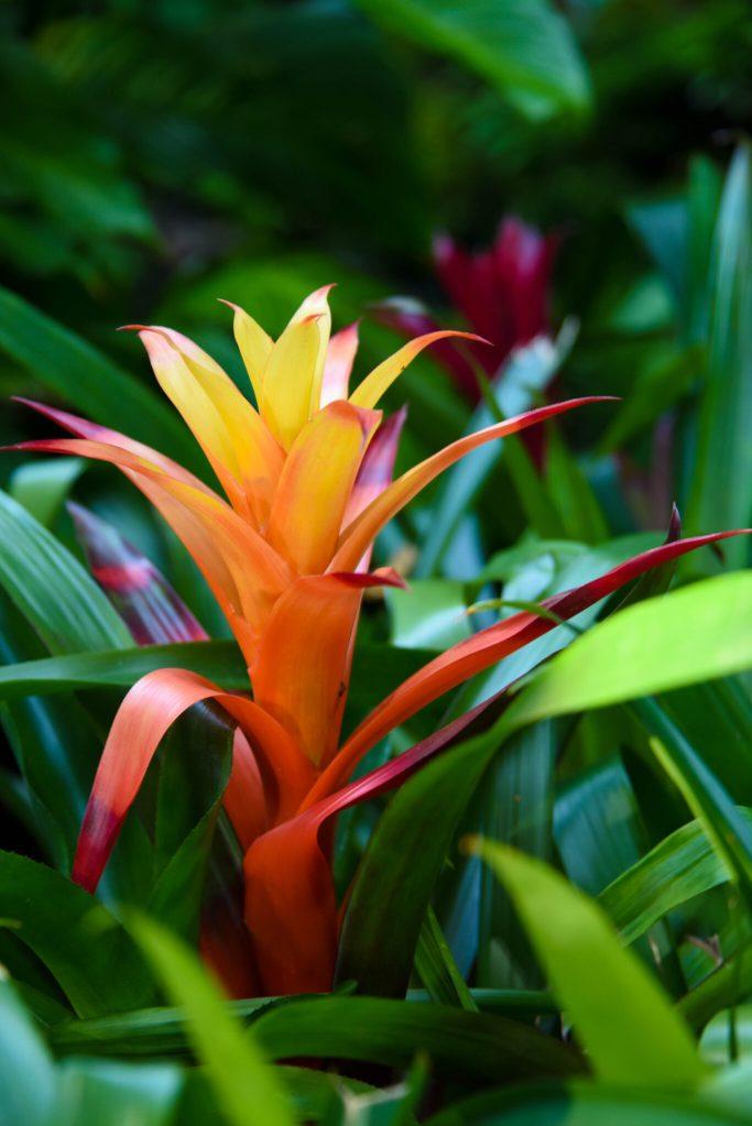 Tropical Flower Missouri Botanical Garden