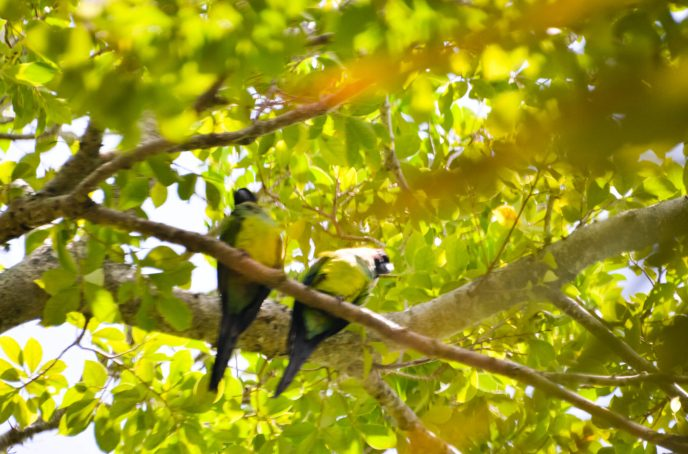 Florida Parrots