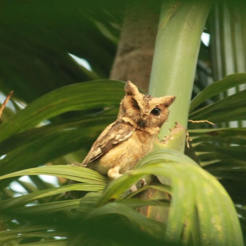Owl-Ghubad
