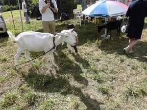 六呂師高原アルプス音楽祭2014 やぎふれあい広場の白やぎさんと黒やぎさん/どこまでもアマチュア