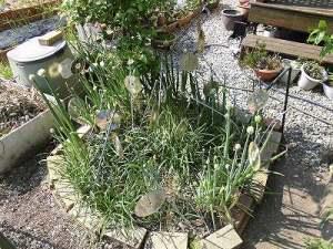 ミニミニ家庭菜園&ミニガーデニング ネギ畑のサークル/どこまでもアマチュア