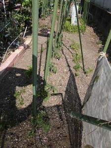 ミニミニ家庭菜園&ミニガーデニング トマトの苗を植えた畝/どこまでもアマチュア