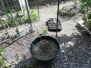 ミニミニ家庭菜園&ミニガーデニング 芙蓉の苗/どこまでもアマチュア