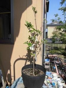 ミニミニ家庭菜園&ミニガーデニング ハナミズキの鉢植え/どこまでもアマチュア
