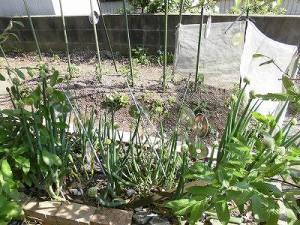 ミニミニ家庭菜園&ミニガーデニング ネギの畝/どこまでもアマチュア