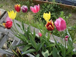 ミニミニ家庭菜園&ミニガーデニング 花が咲いているチューリップ/どこまでもアマチュア