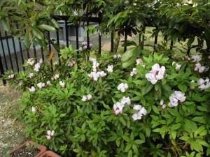ミニミニ家庭菜園&ミニガーデニング つつじの花/どこまでもアマチュア