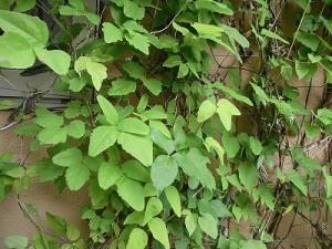 ミニミニ家庭菜園&ミニガーデニング クレマチスの葉/どこまでもアマチュア