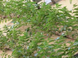 ミニミニ家庭菜園&ミニガーデニング 壁を這い上がっているノウゼンカズラ/どこまでもアマチュア