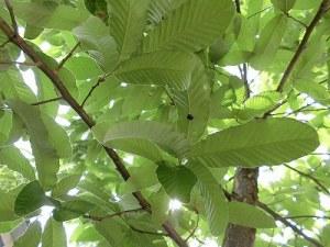 ミニミニ家庭菜園&ミニガーデニング どんぐりの葉につかまっているナミテントウ/どこまでもアマチュア