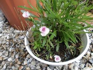 ミニミニ家庭菜園&ミニガーデニング 花鉢の花/どこまでもアマチュア