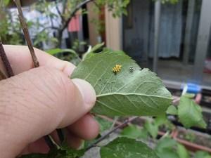 ミニミニ家庭菜園&ミニガーデニング 葉の卵/どこまでもアマチュア