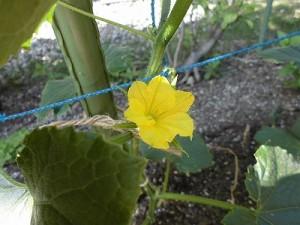 ミニミニ家庭菜園&ミニガーデニング トマトの花/どこまでもアマチュア