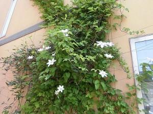 ミニミニ家庭菜園&ミニガーデニング クレマチスの花/どこまでもアマチュア