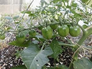 ミニミニ家庭菜園&ミニガーデニング ミニトマト/どこまでもアマチュア