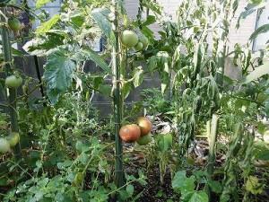 ミニミニ家庭菜園&ミニガーデニング 色づき始めたトマト/どこまでもアマチュア