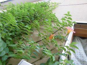 ニミニ家庭菜園&ミニガーデニング 壁を這い上がったノウゼンカズラ/どこまでもアマチュア