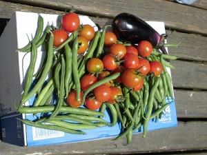 ミニミニ家庭菜園&ミニガーデニング 本日の収穫/どこまでもアマチュア