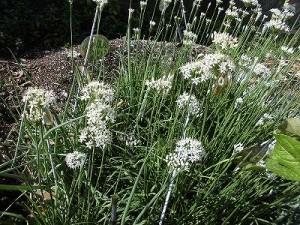 ミニミニ家庭菜園&ミニガーデニング ニラの花/どこまでもアマチュア