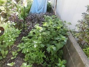 ミニミニ家庭菜園&ミニガーデニング 青紫蘇/どこまでもアマチュア