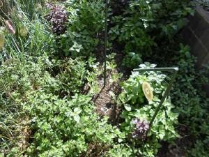 ミニミニ家庭菜園&ミニガーデニング 大根の苗/どこまでもアマチュア