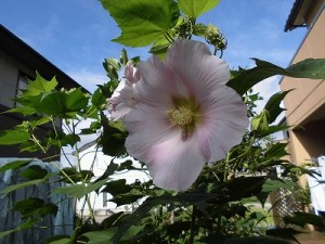 ミニミニ家庭菜園&ミニガーデニング 芙蓉の花/どこまでもアマチュア
