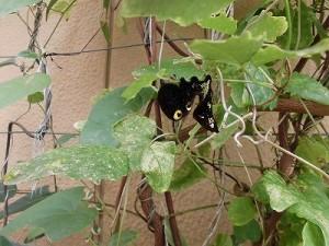 ミニミニ家庭菜園&ミニガーデニング クレマチスにつく虫/どこまでもアマチュア